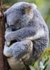 Koala - Back Cover