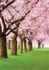 Cherry Blossom Park - Back Cover